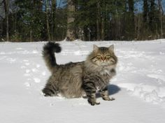 SIBERIAN BREED Lovely & Loved Smart & Loyal Great Friends & Companions We are Siberian Cats & Kittens