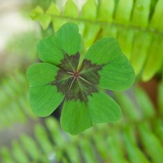 Four Leaf Clover...repin for Good Luck