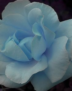 I just brought a blue rose bush yesterday! I can't wait to see what the flowers look like!