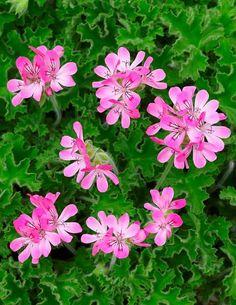 Sitruunapelargoni Pink Capitatum - Viherpeukalot