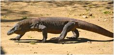 komodo dragon side view - Google Search
