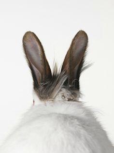 Bunnies - rabbit ears♥