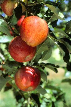 Apple(Malus pumila) 'Cox's Orange'