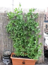 peas grown in containers - Google Search