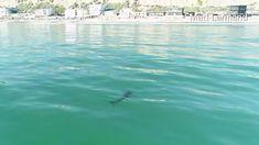 Shark Pupping Season Arrives on Southern California Coast