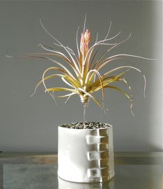 Air plant suspended over gravel in a ceramic planter.