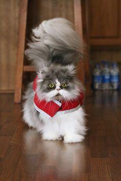 Shaggy tail Persian Cat    ..http://www.flickr.com/photos/41566415@N00/8415536620 kassis6ltlane: Cats_130