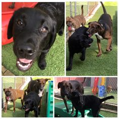Four month old Hank is having a great time with #NewFriends #DoggieDaycare #PuppyLove #LabradorRetriever
