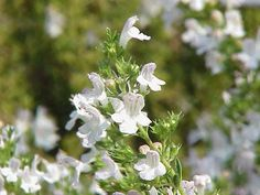 Winter Savory | 10 Powerful Medicinal Plants From Around the World | http://survivallife.com/medicinal-plants-from-around-the-world/