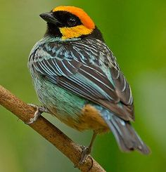 Saffron crowned tanager