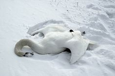 f-aceless:   Swan lying dead in the snow   thought it was a dragon bye