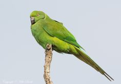 Echo Parakeet Psittacula eques (EN) by Mike Barth http://focusingonwildlife.com/news/wildfocus/featured/img_9663-2/