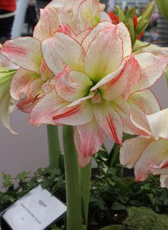 autumn (October) - Amaryllis Aphrodite