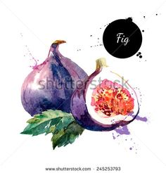 Hand drawn watercolor painting on white background. Vector illustration of fruit fig - stock vector