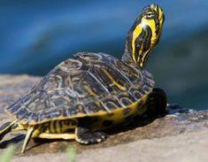 Roșiile nu suportă castraveții: plantele care trebuie să fie alături + tabel de compatibilitate a legumelor! - Afla Detoate Turtle, Turtles, Tortoise Turtle, Tortoise, Sea Turtles