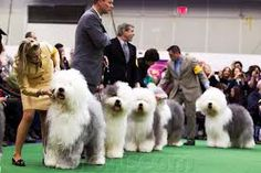 The Best of Breed winner from each breed entered at the dog show is now eligible to represent his/her breed by competing in the Group Competition.