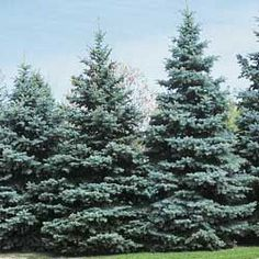 Blue Spruce or Colorado Blue Spruce (Picea pungens) Evergreen Trees, Trees And Shrubs, Trees To Plant, Evergreen Landscape, Porches, Blue Spruce Tree, Types Of Christmas Trees, Tree Seeds, Landscaping Plants