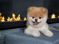 Boo, The World's Cutest Dog