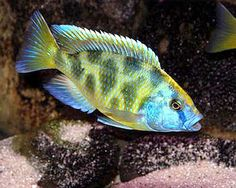 Giraffe Cichlid, I have 2 of these Beautiful fish! Had 3 :( bloat