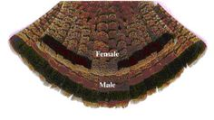 Ruffed Grouse Tail