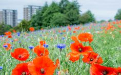 https://flic.kr/p/uXV94Z | Urban colour | I was driving home from the city centre today when I saw a patch of land filled with poppies and cornflowers. It was a lovely sight! It was rather windy though and rather difficult to take photos so I'll try and go back again tomorrow if the weather is better.