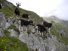 Ein Ziegenbock und seine Ziegen auf Belalp im Schweizer Kanton Wallis.