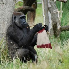 Gorilla knitting... sorry, I know it is bad, but couldn't help myself.