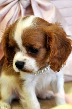 I love King Charles Cavaliers! That's why I have 2 Cockaliers (Cocker spaniel & King Charles Cavalier) Cavalier King Charles Blenheim, King Charles Puppy, King Charles Spaniel, King Spaniel, Spaniel Puppies For Sale, Cocker Spaniel Puppies, Cute Puppies, Cute Dogs, Puppies Puppies