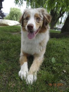 Red Merle Australian Shepherd puppy