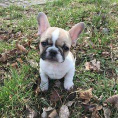 French Bulldog Puppy … #frenchbulldogspuppy