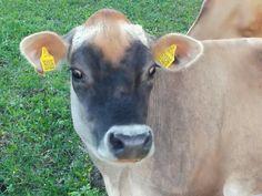 Sousedovic kravicka 😀👍🐄😂 - Penzion Heřmanice Cow, Animals, Animales, Animaux, Cattle, Animal, Animais