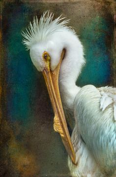 American White Pelican | Amazing Pictures - Amazing Pictures, Images, Photography from Travels All Aronud the World