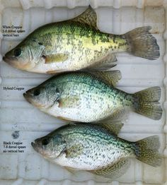 Crappie Recipes- Crappie Parmesano, Cajun Crappie Cuisine - Fly Fishing Discounters