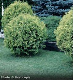 Golden Globe Arborvitae - Thuja occidentalis