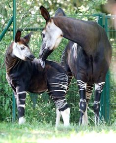 Three months old baby  Okapi named Maiko stands next to its mother Lomela, right, during its first public appearance in the zoo of Frankfurt,