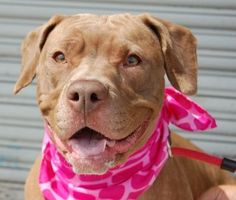 Brooklyn Center DIAMOND aka SINDY aka TRESSA – A0993015 (Alternate ID: A1010039) ***RETURNED FOR A 3RD TIME 07/22/15 – NEW BABY**** SPAYED FEMALE, BROWN / WHITE, PIT BULL MIX, 1 yr, 8 mos OWNER SUR – ONHOLDHERE, HOLD FOR ID Reason NEW BABY Intake condition EXAM REQ Intake Date 07/22/2015,