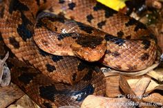 Ovophis monticola (Chinese Mountain Pit Viper)