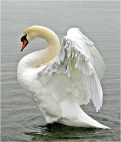 Swan with upraised wings.