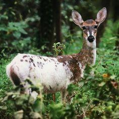 "Robert Cobucci on Instagram: ""White deer princess. #whitetail #whitedeer #deer #deerwhisperer #piebald"" Instagram White, White Tail, Kangaroo, Deer, Creatures, Princess, Photos, Bra Tops, Baby Bjorn"