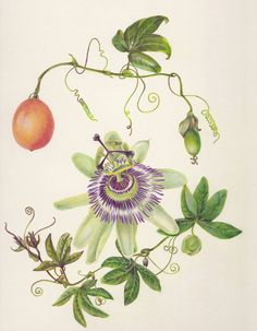 passion flower botanical illustration - Google Search