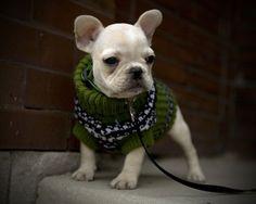 oooun, um bull dog frances num sweater !