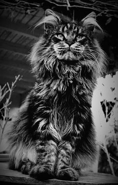 Maine coon... More