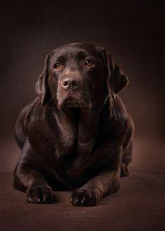Dog House Air Conditioner Fabric of a gentleman.Dog House Air Conditioner Fabric of a gentleman Labrador Retriever Chocolate, Brown Labrador, Labrador Retrievers, Retriever Dog, Lab Puppies, Cute Puppies, Cute Dogs, Dog Breed Names, Dog Breeds