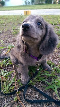 Cute Silvia Gallery - Silver Dapple Dachshund - Silvia being cute outside