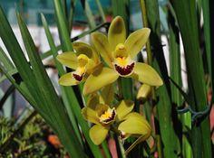 Nombre científico: Cymbidium. Etimología: el botánico sueco Olaf Peter Swartz bautizó el génro con este nombre a causa de la forma del labelo, inspirándose en el término griego 'kymbes', que signif...
