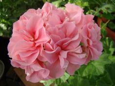 pelargonium santa maria centennial - Google-søk