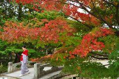 autumnal tints ; scarlet-tinged leaves (momiji: 紅葉 ) in Kyoto Japan