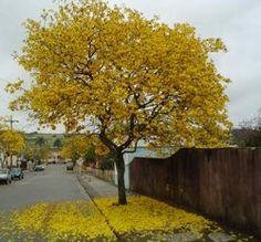 Tabebuia chrysantha (Araguaney or Yellow Ipê) aka Roble Amarillo.