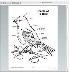 Bird Identification: The parts of a bird to look at to make it easier to identify