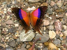 The Sunset Daggerwing (Marpesia furcula) butterfly. It is found in Central America and South America, from Nicaragua to Bolivia and Argentina